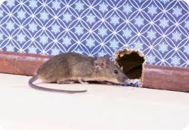 anticimex souris dans la maison