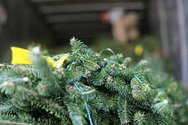 What Christmas Tree Smells The Best by Cedar Grove Christmas Trees