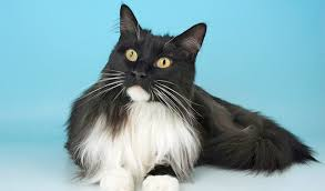 Do Maine Coons Shed In The Summer by Maine Coon Cat Breed Information