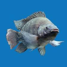 Blue Tilapia Fingerlings Qty 1