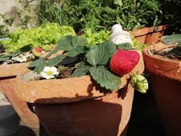 100 Fresh Home And Garden Harvest Fresh Home Strawberry Gardening Garden DIY Home
