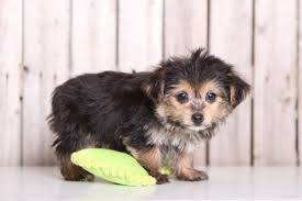 Morkies Do They Shed by View Ad Morkie Puppy For Sale Ohio Mount Vernon Usa