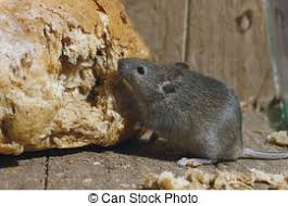 images de stock de musculus maïs mus souris maison