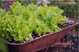 Add A Quirky Element To Your Garden By Planting An Old Rusted Bucket Or Wheelbarrow With Lettuces Even Wellie Toy Dump Truck Can Become