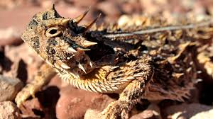 Texas Horned Lizard | HD Lizard Wallpapers | Pinterest | Horned ... Roadsendnaturalist Roads End Naturalist Raptormaniacs San Diego Zoo Part I Reptile Mesa Lovely Plantings My Adventures In Gardening Big White Throat Monitor Lizard Reptilians Do It Best 1985 Best Amazing Lizards Images On Pinterest Chameleons Lorde Archives The Key Digital Wallpaper Beautiful Ldon V House Pet Updates Chris And Ash Discussions Of Exotic Species Music Concerts Life Dead Milkmen Laurel Hill July 2010