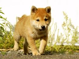 Do Shibas Shed A Lot by The Shiba Inu One Of Just 6 Breeds Native To Japan