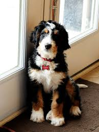 Non Shed Dog Breeds Large by Poodles Smart Active And Proud Poodle Mix Bernese Mountain