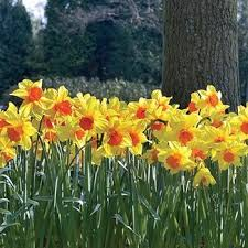 28 best daffodils narcissus images on daffodils
