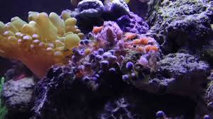 Decorator Crab Tank Mates by This Is What Happens When You Give A Decorator Crab Pom Poms