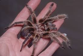 Tarantula Shedding Skin Time Lapse by Nature For My Soul Myth Busters Page 3