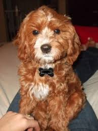 do cavapoos shed a lot cavapoo cavalier king charles spaniel mix info temperament