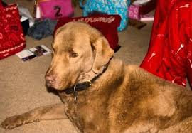 chesapeake bay retriever dog breed pictures 1
