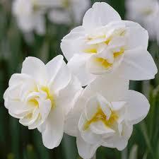daffodil bulbs yellow cheerfulness for sale gardening ideas