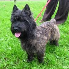 cairn terrier shed hair cairn terrier low shedding breeds breed dogs picture