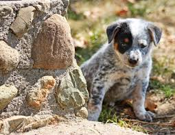 13 do blue heelers shed texas heeler puppies for sale for