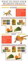 Bearded Dragon Shedding Behavior by Best 25 Bearded Dragon Diet Ideas Only On Pinterest Bearded