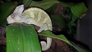 Basking Lamp For Chameleon by Yemen Veiled Chameleons Reptiles For Sale In The Uk And Ireland