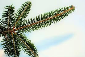 Fraser Christmas Tree Care by Nordman Fir Fraser Fir And Noble Fir Christmas Trees Needlefresh Uk