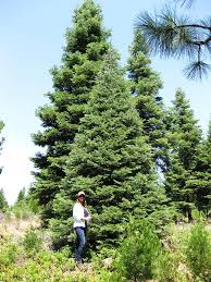 Silvertip Christmas Tree by Large Live Christmas Trees Order Jfp Christmas Trees