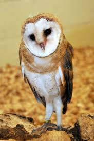42 Best Owls Images On Pinterest | Animals, Nature And Barn Owls Barn Owl Outdoor Alabama Owl Wikipedia Trust On Twitter Cservation Handbook A Wednesday Birdnation Wirral Home Facebook Audubon Field Guide Review Course By Martin Oconnor Arbtech Legal Status The Rspb Eastern Singapore Birds Project Barnowltrust Owls Owls Of The Niagara Region