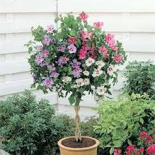 entretien du camelia en pot les 25 meilleures idées de la catégorie jardin d hibiscus sur