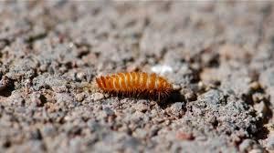 Carpet Weevil Pictures by Bug Of The Week Carpet Beetle Larva U2013 Growing With Science Blog