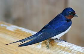 Barn Swallow - Wikipedia Swallow Tattoo Shoulder Blades 100 Small Bird Tattoos Designs Colorful Barn With Rose And Star Design By Renee 55 Best Golondrinas Images On Pinterest Bird Swallows And Art A Point Green Violet Custom Studio Royalty Free Stock Photo Image 25723635 Images For Silhouette Personal Interest Swallow Wikipedia 24 Henna Tattoos Tattoo 2016 What Your Means Secret Ink 50 Coolest On Chest Black Flying Banner Stencil Mithu Hassan