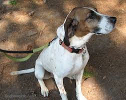 Do Treeing Walker Coonhounds Shed by English Coonhound Dog Breed Information And Pictures