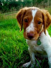 Do Brittany Spaniels Shed Hair by Best 25 Brittany Spaniel Ideas On Pinterest Brittany Spaniel