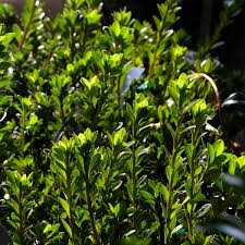 azalée du japon white prince azalea japonica rhododendron