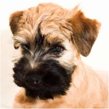 Hypoallergenic Dog Breeds That Dont Shed by Cute Dog Breeds That Don T Shed Breed Dogs Picture
