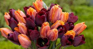 ronaldo and princess irene tulip bouquet plant