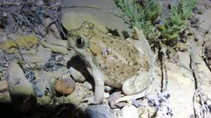 Do Aquatic Dwarf Frogs Shed Their Skin by Adventures With A Modern Texas Naturalist