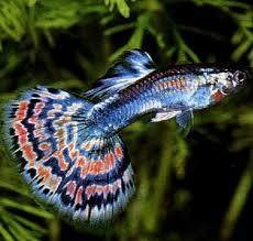 poisson eau douce aquarium tropical un beau guppy poisson d eau douce pinteres