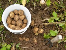 Potatoes For The Backyard Gardener - The Cape Coop Texas Garden The Fervent Gardener How Many Potatoes Per Plant Having A Good Harvest Dec 2017 To Grow Your Own Backyard 17 Best Images About Big Green Egg On Pinterest Pork Grilled Red Party Tuned Up Want Organic In Just 35 Vegan Mashed Potatoes Triple Mash Mashed Pumpkin Cinnamon Bacon Sweet Gardening Seminole Pumpkins And Sweet From My Backyard Potato Salad Recipe Taste Of Home