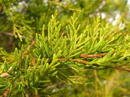 Christmas Tree Types Artificial by Tree Varieties