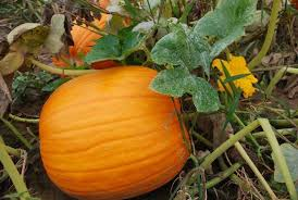 Hillcrest Farms Pumpkin Patch by Hillcrest Orchard Wisconsin Haunted Houses