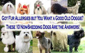 Non Shedding Dogs Family Friendly by Got Fur Allergies But You Want A Good Old Doggie These 10 Non