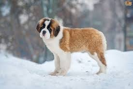 Non Shedding Husky Cross by Saint Bernard Dog Breed Information Buying Advice Photos And