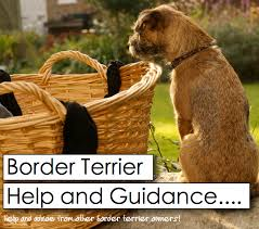 Do Border Terriers Shed by Has Your Border Terrier Become Aggressive Towards Other Dogs