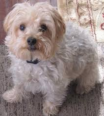 yorkipoo designer dog breed yorkshire terrier poodle mix non