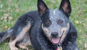 Blue Heeler Mix Shedding by 10 Of The Most Low Maintenance Dog Breeds U2013 Iheartdogs Com