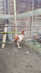 New Owner With Ex-caged Hens In The UK | BackYard Chickens 14 Best Chicken Breeds Images On Pinterest Grandpas Feeders Automatic Feeder Standard 20lb Feed Backyard Chickens Norfolk Va 28 Run Selling Eggs From Uk My Marans Red Pyle Brahmas And Other Colours Backyard Chickens Page 53 Of 58 Backyard Ideas 2018 Derbyshire Redcaps Uk Cleaning Stock Photos Images Quietest Breeds Uk With Quiet Coop How To Keep Your Hens Laying All Winter Long Top 5 Tips A Newbie The