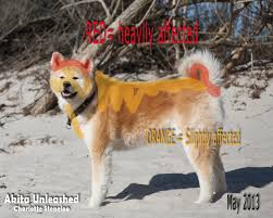 Do Akitas Shed Hair by First Spring Shedding With Sa We Dare You