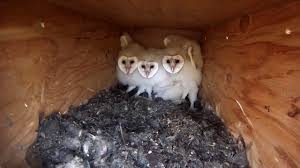 Utah Barn Owl Nest Box 2 - YouTube Barn Owl Box Company Wildlife San Francisco Forest Alliance Food Lodging Owls See A Housing Boom In Walla Washington Audubon Best 25 Owls Ideas On Pinterest Beautiful Owl And Utah Nest Box 2 Youtube There Is Always One That Ruins Family Picture Trio Family Ties Chicks Let Their Hungry Siblings Eat First Texas 2017 Update All About Birds Bring Up Baby How Barn Do It Help Clean Up Rodents Naturally Green Blog Anr Blogs