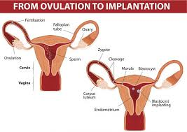 Shedding Of Uterine Lining During Pregnancy by How Long Does Implantation Bleeding Last Lovetoknow