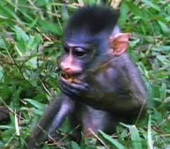 Gabon A Small Country In West Africa Is One Of The Least Developed Places On Continent It Still 80 Percent Rainforest Says Mandrill Scientist Dr
