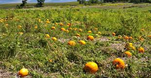 Pumpkin Patch Parker County Texas by Welcome Byrnsidebranchfarm Com