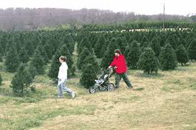Christmas Trees Types by South Carolina Christmas Tree Association Growing You Pick And