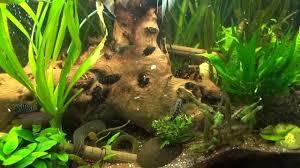 aquarium d eau douce aquarium eau douce